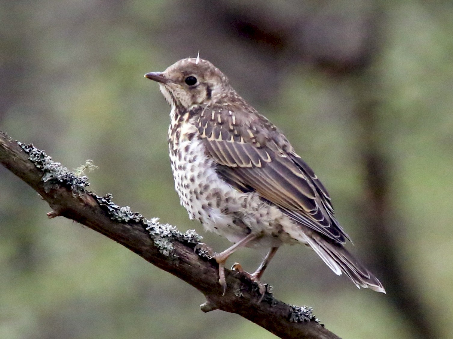 Mistle Thrush - Paul Chapman