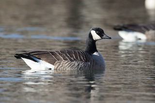 Cackling Goose (Richardson's), ML45073881