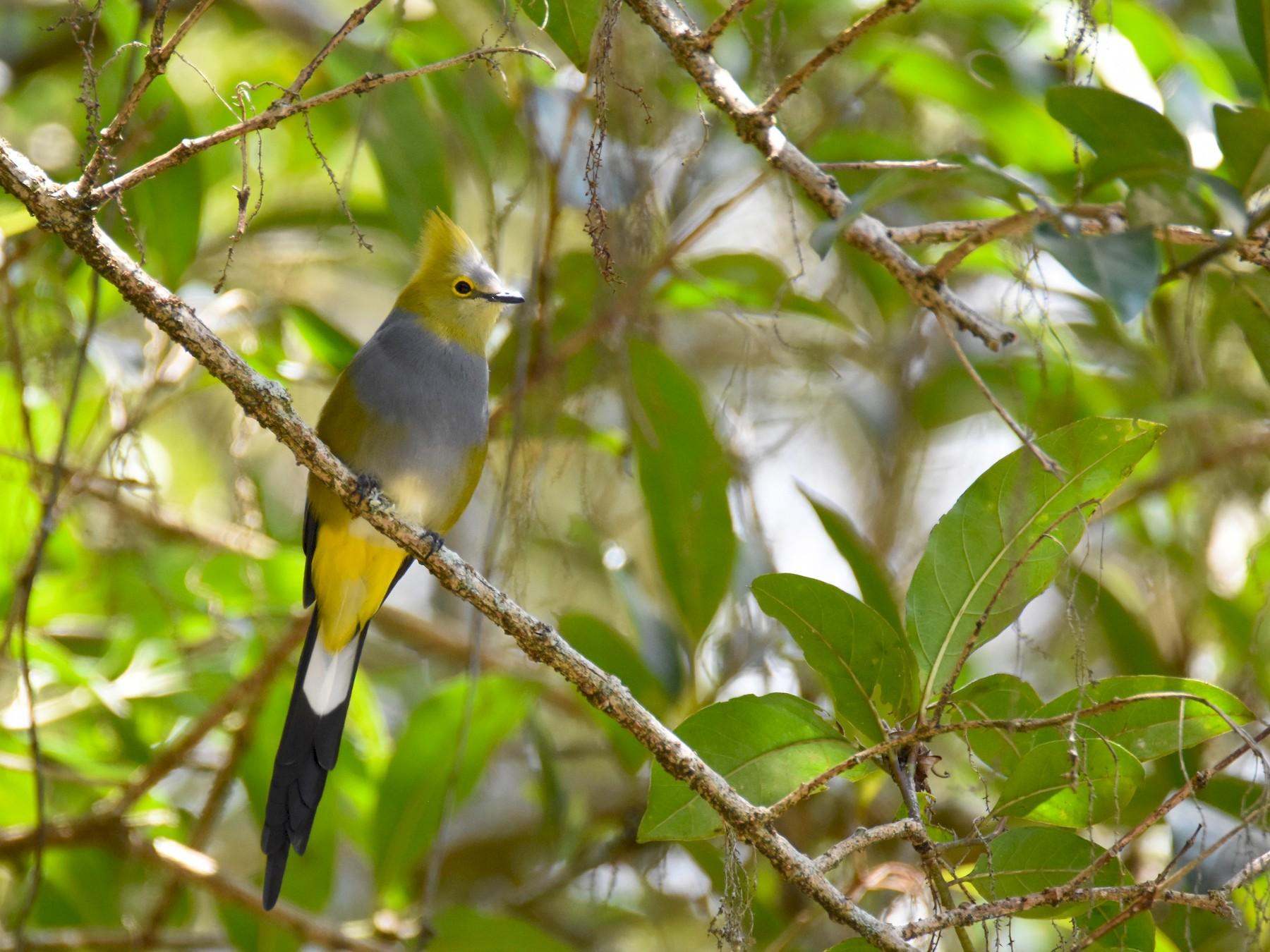 Long-tailed Silky-flycatcher - Luke Berg
