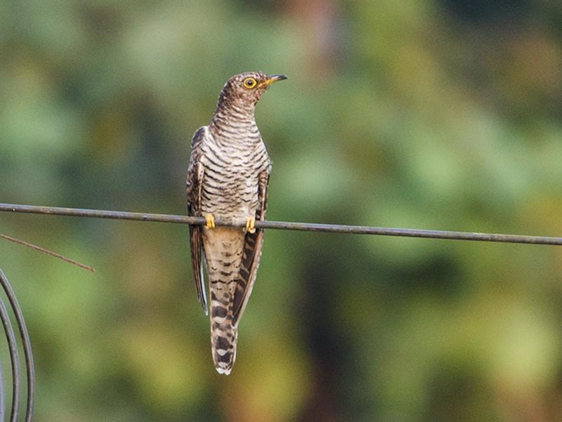 Common Cuckoo - Omkar Dharwadkar