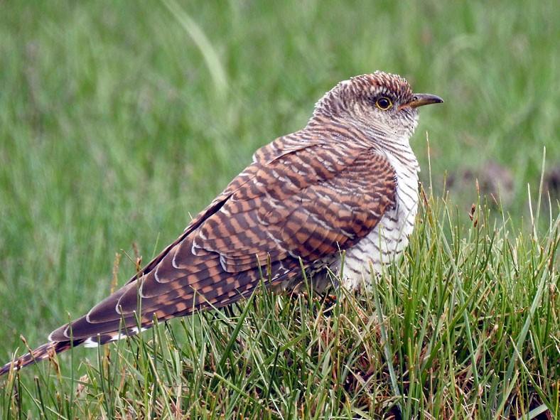 Common Cuckoo - Adesh Shivkar