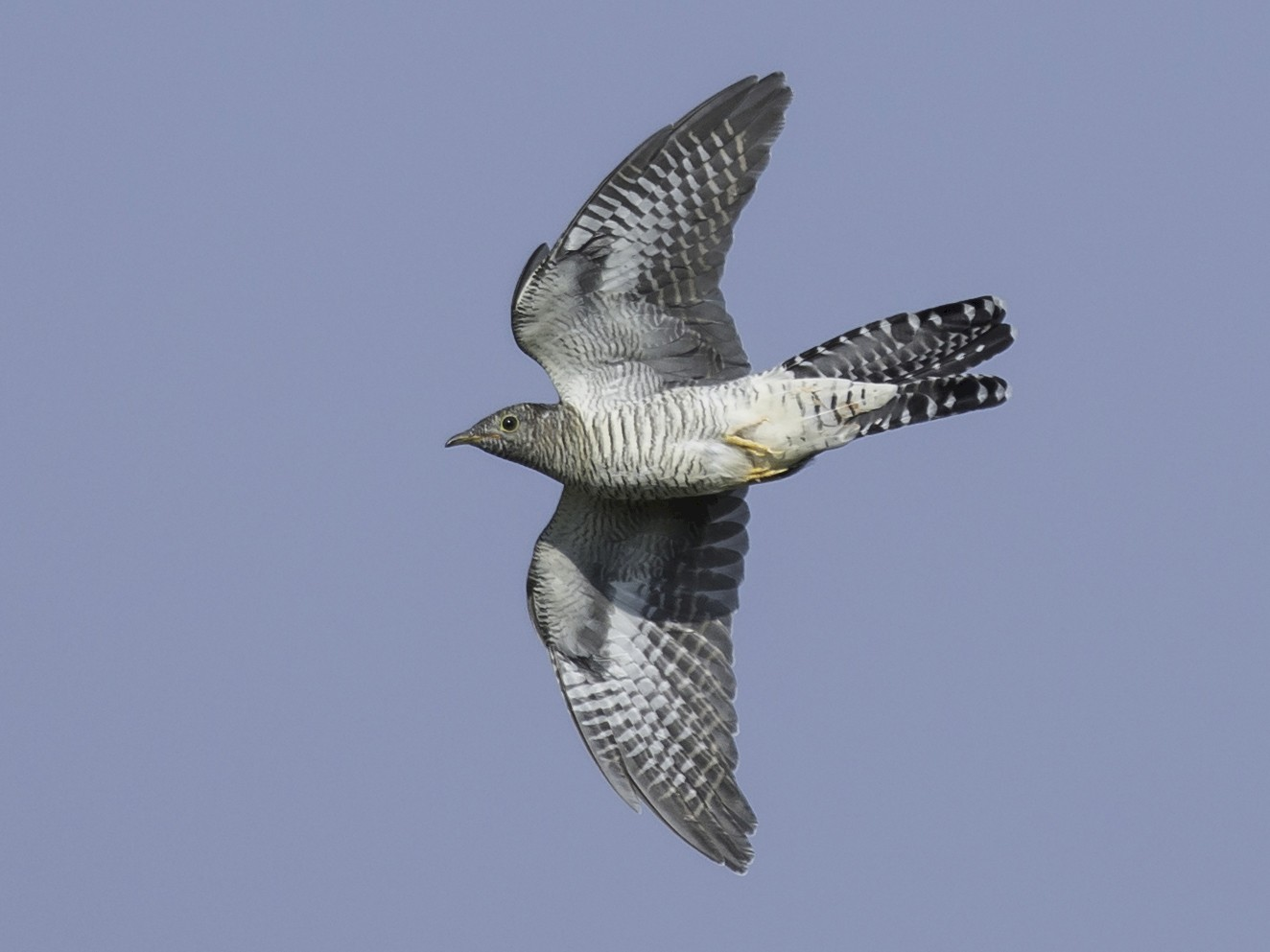 Common Cuckoo - Batmunkh Davaasuren