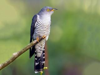 - Common Cuckoo