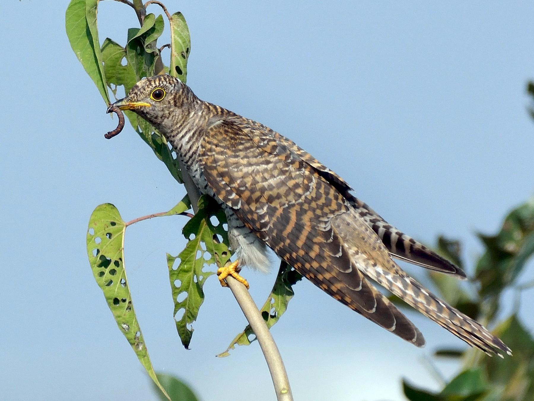 Common Cuckoo - Sanjay Malik