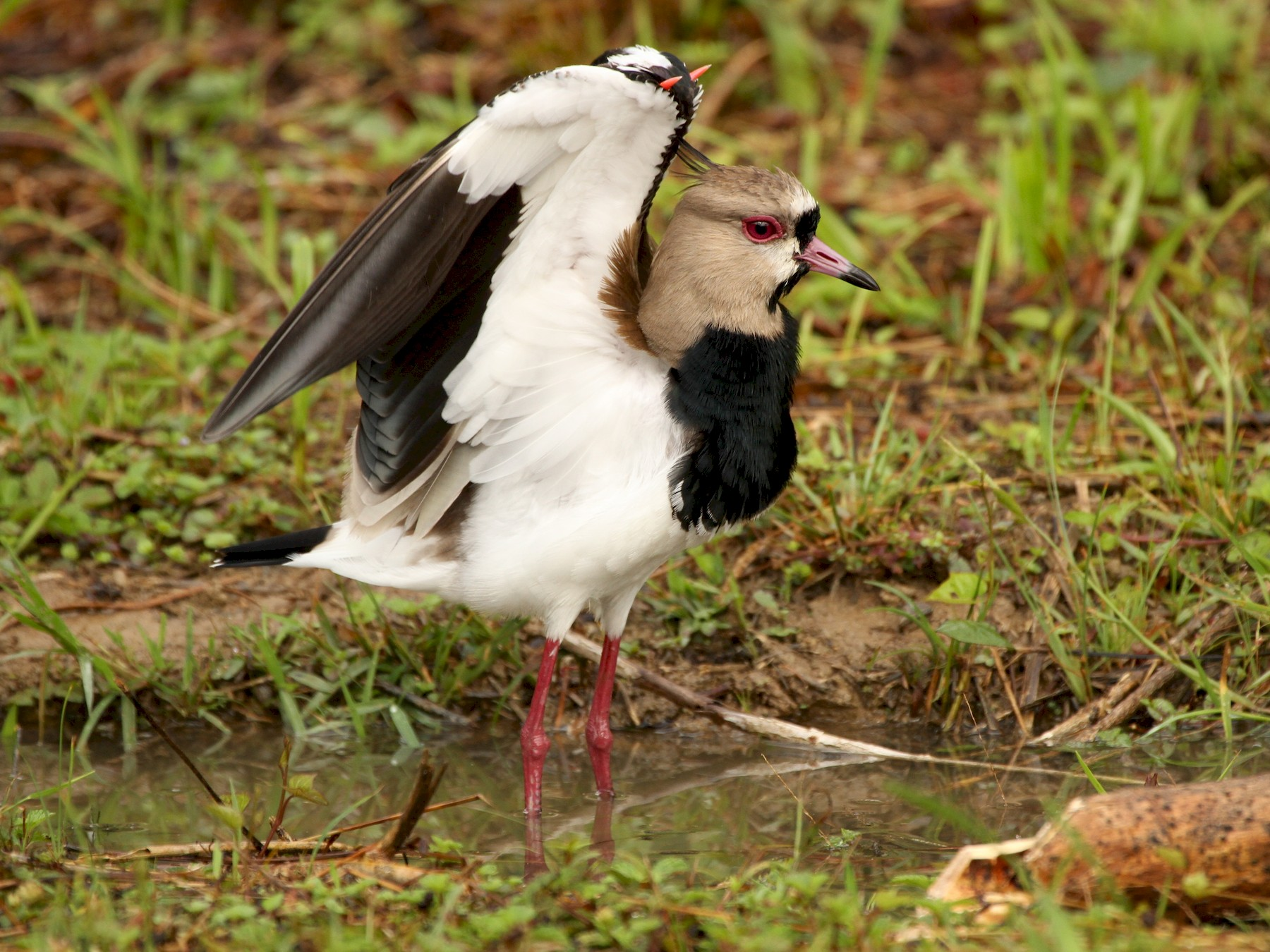 Southern Lapwing - Brian Ahern