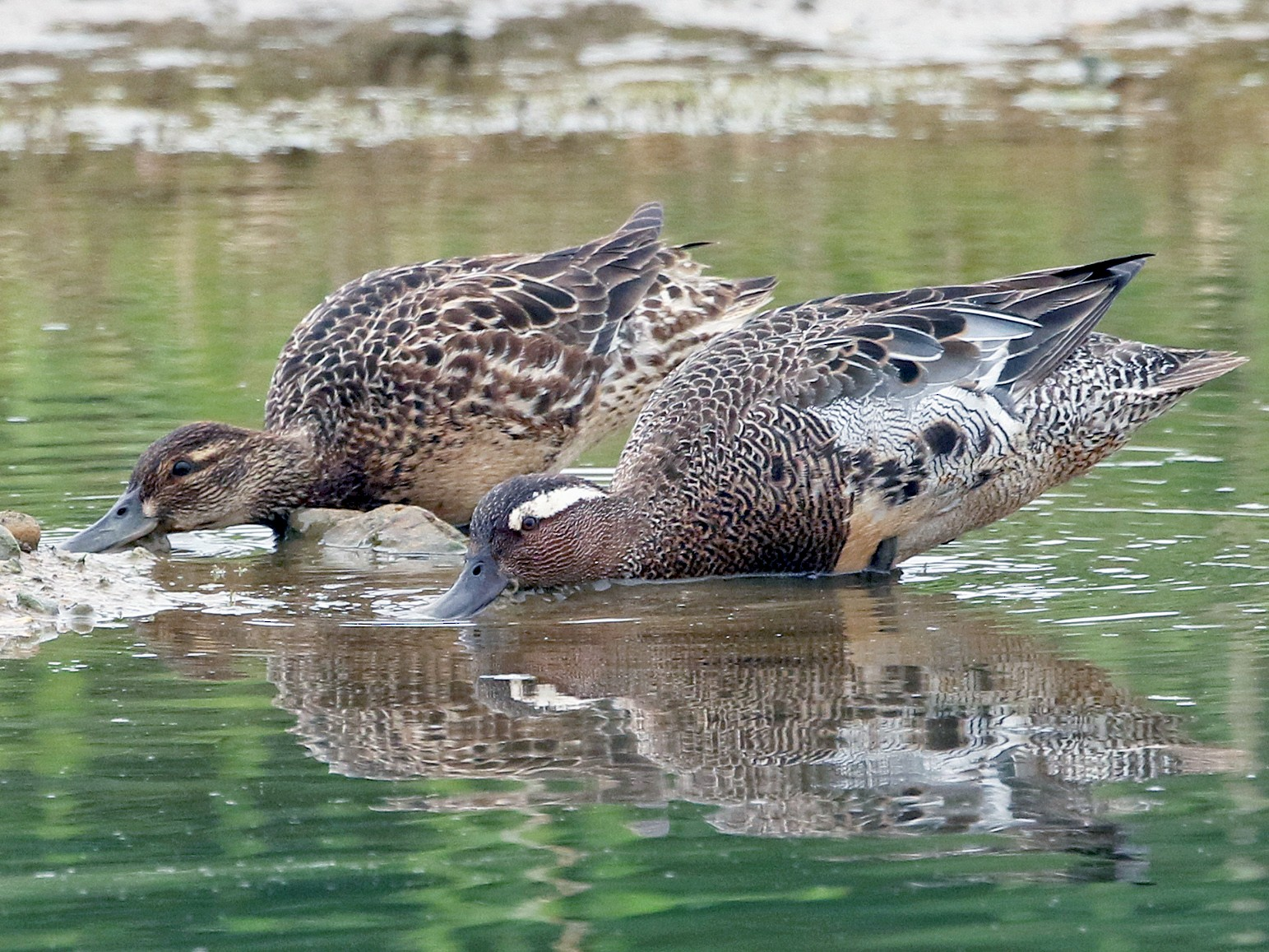 Garganey - Dominic Mitchell
