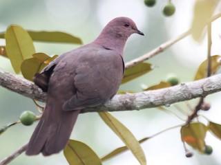 - Ruddy Pigeon