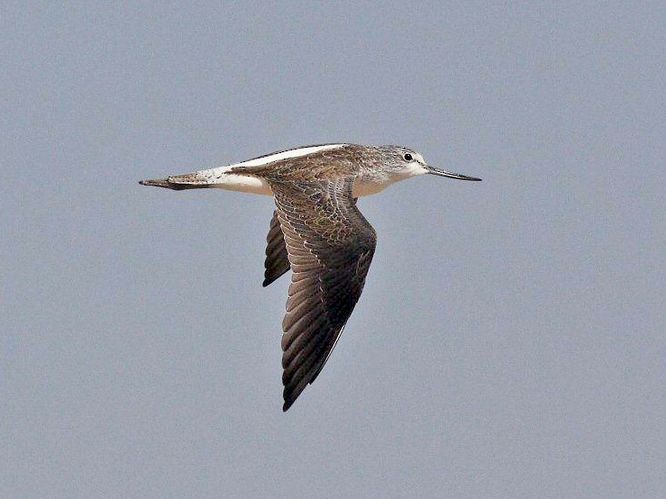 Common Greenshank - Yousif Attia