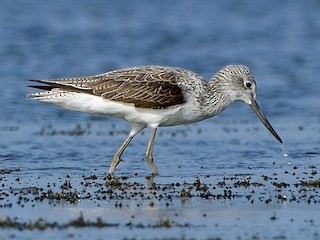 - Common Greenshank