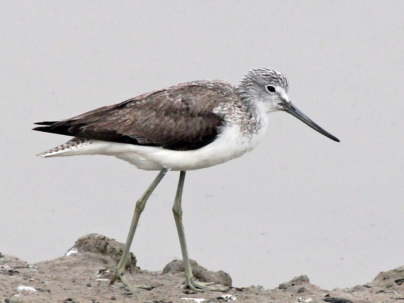 Common Greenshank - Paul Chapman