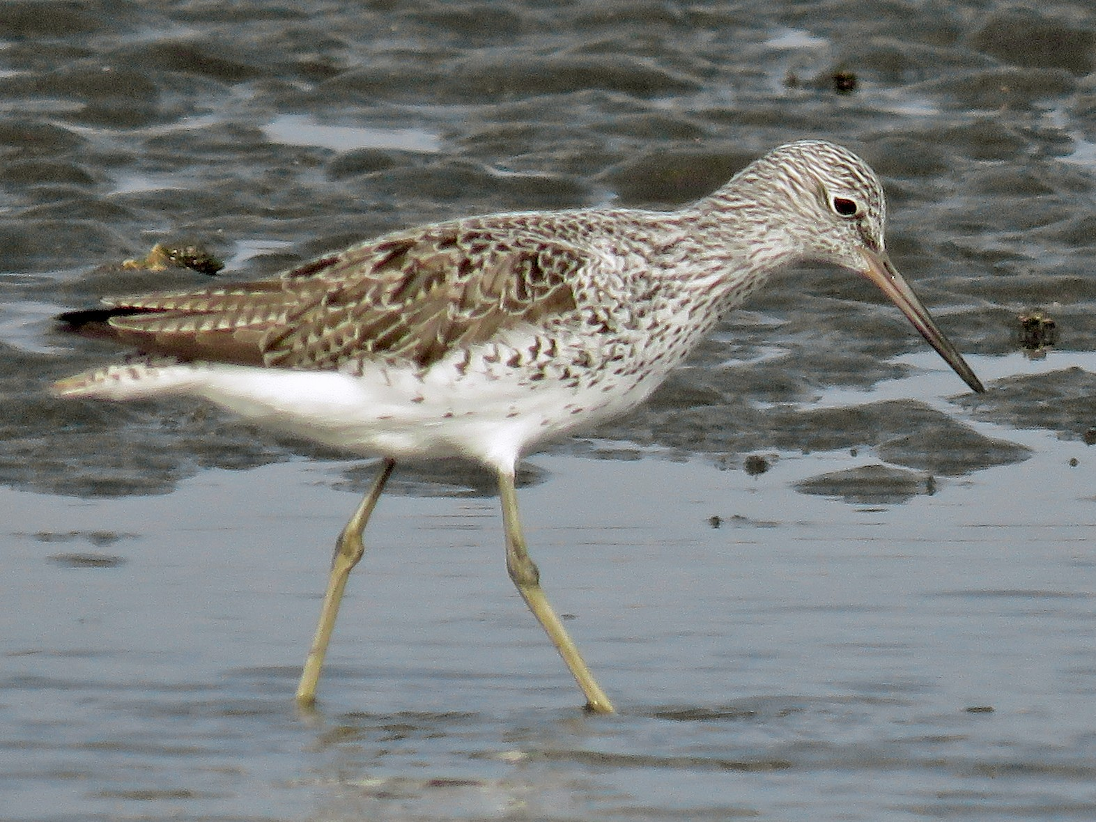 Common Greenshank - Ed Thomas