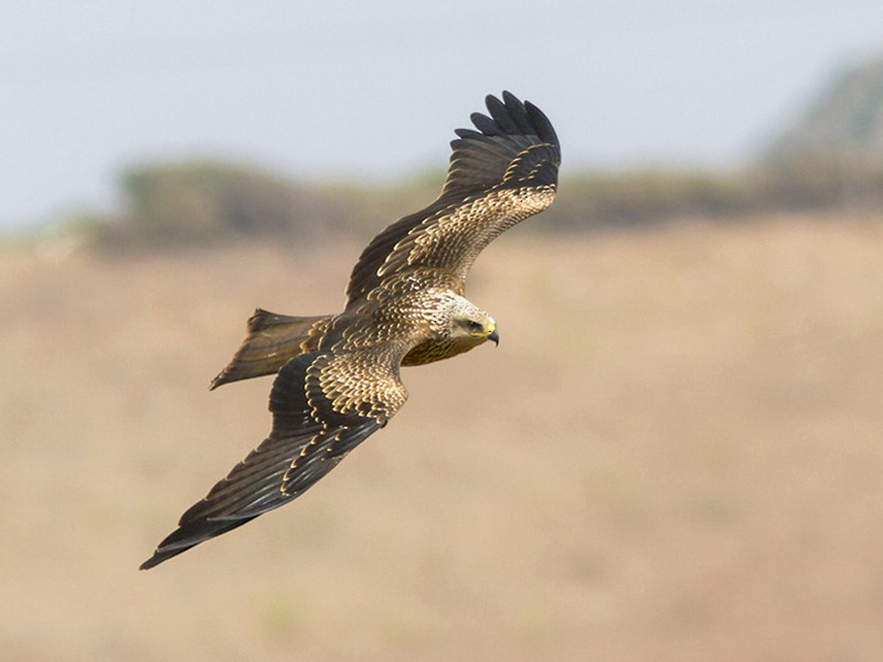 Black Kite - Yeray Seminario