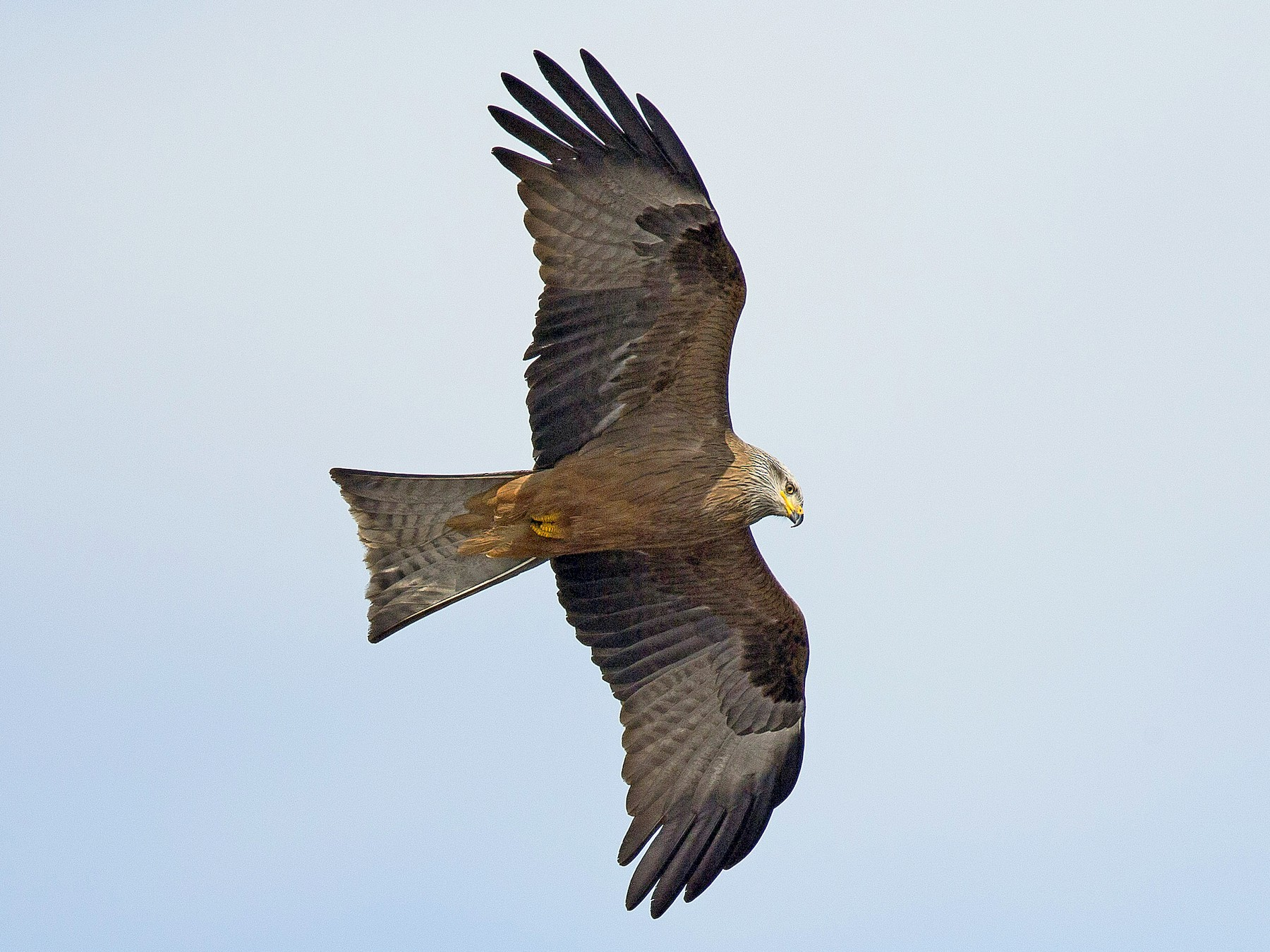 Black Kite - PMDE ESTEVES
