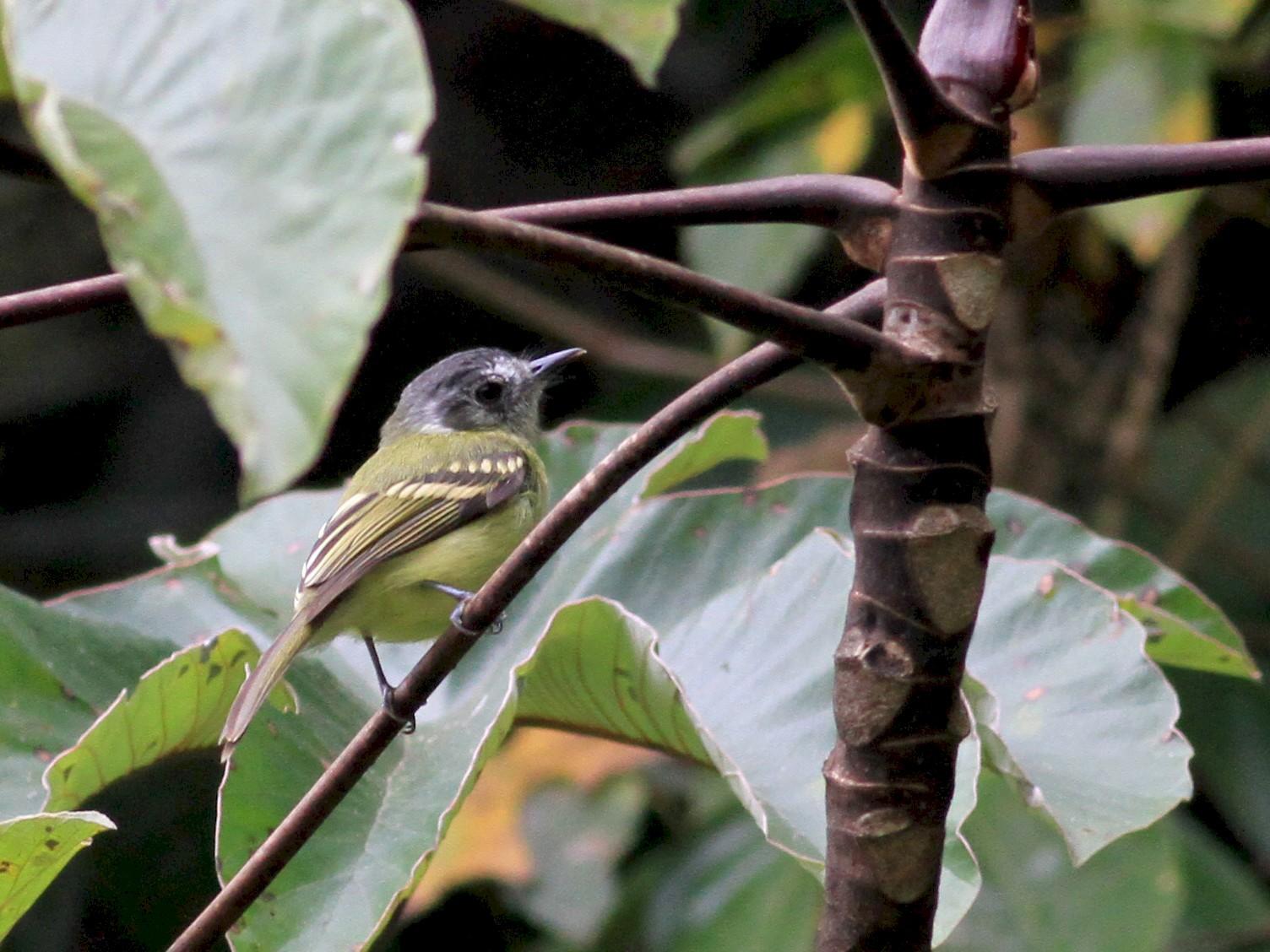 Slaty-capped Flycatcher - Jay McGowan