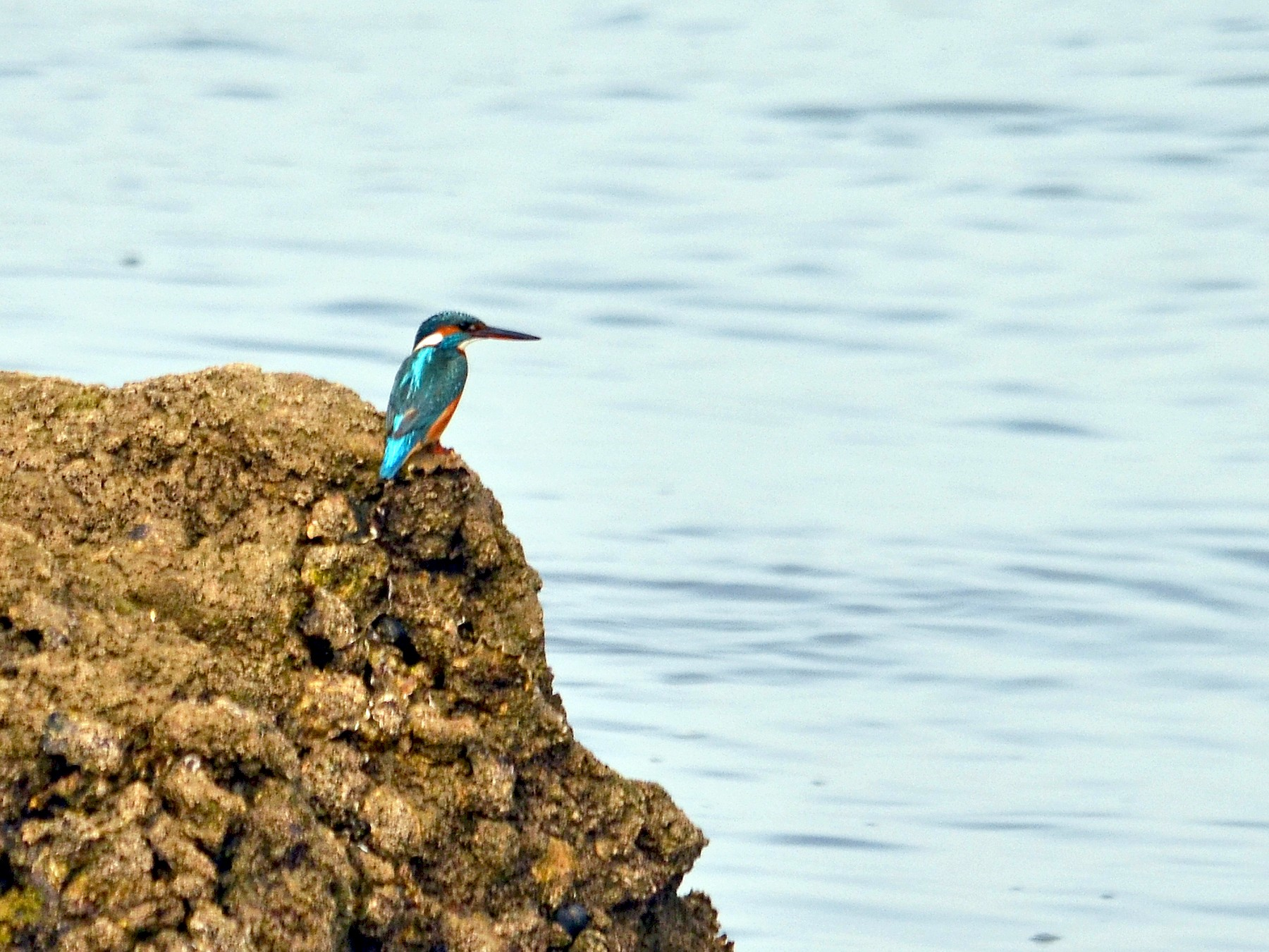 Common Kingfisher - José Frade