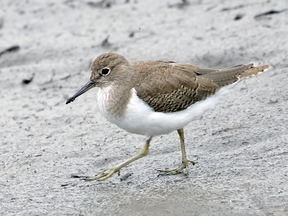 Common Sandpiper - Brooke Miller