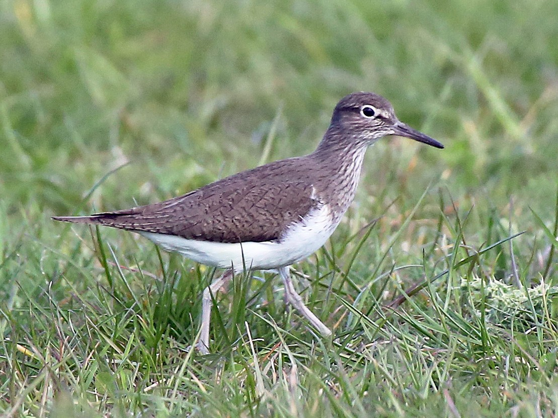 Common Sandpiper - Paul Chapman