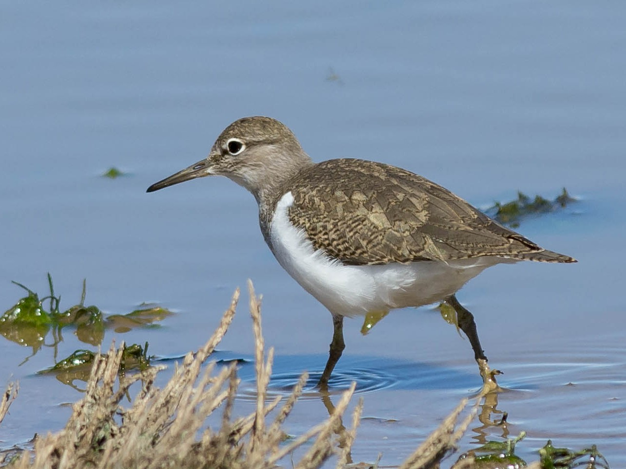 Common Sandpiper - Batmunkh Davaasuren