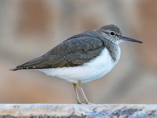 - Common Sandpiper