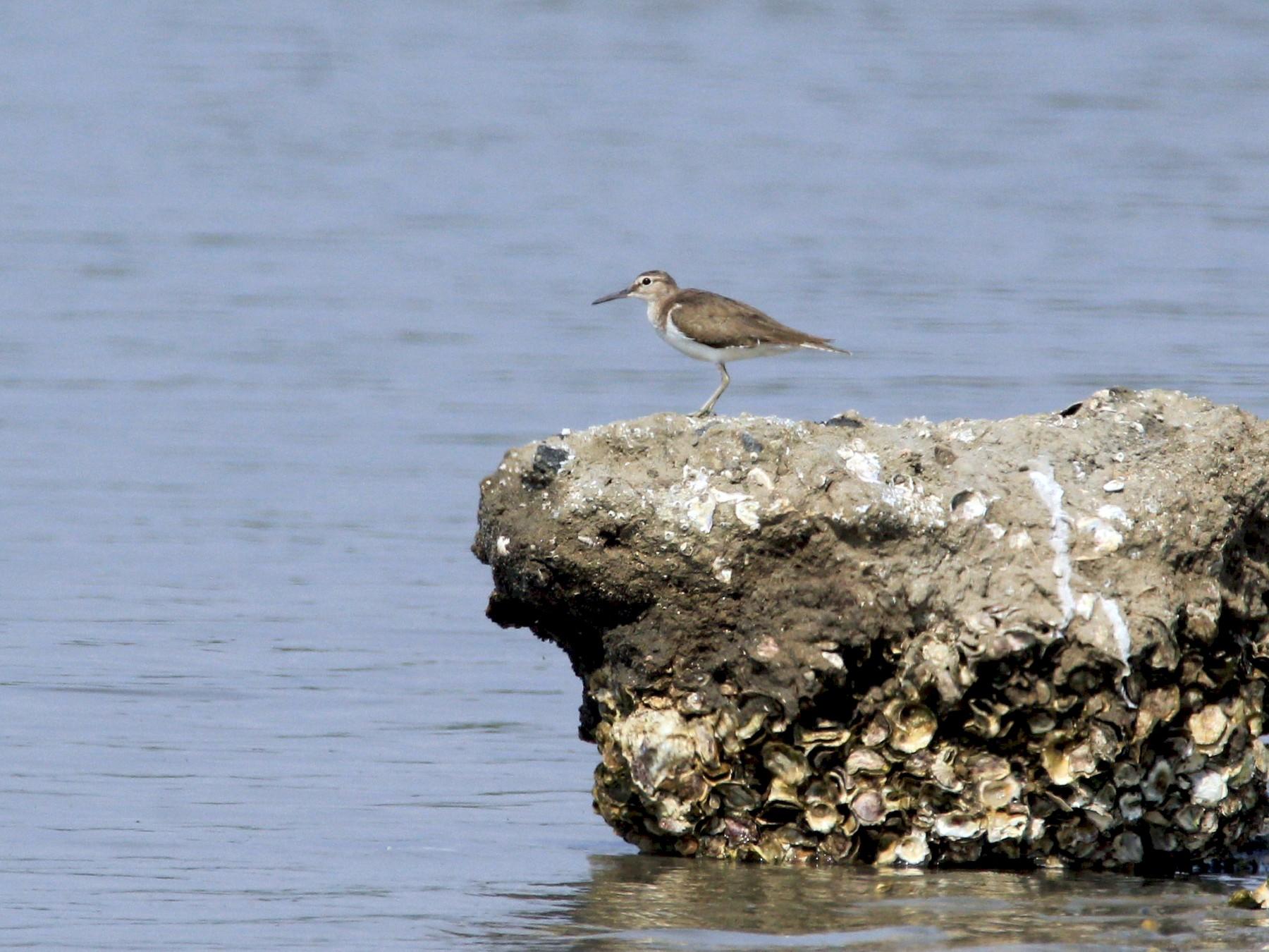 Common Sandpiper - Aravind Amirtharaj