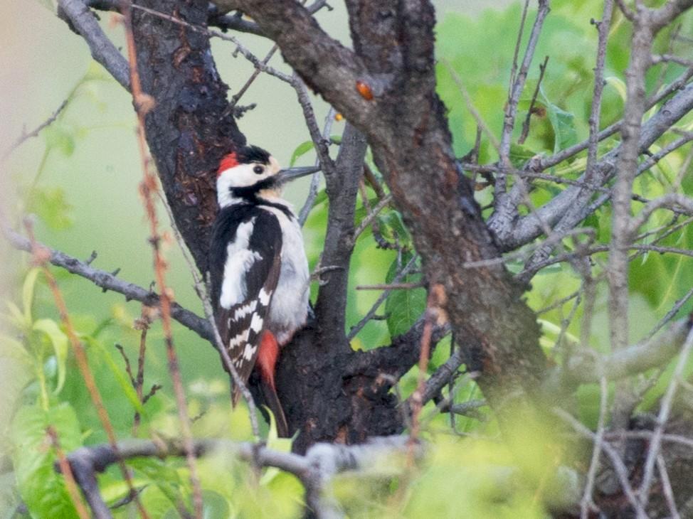 Syrian Woodpecker - John C. Mittermeier