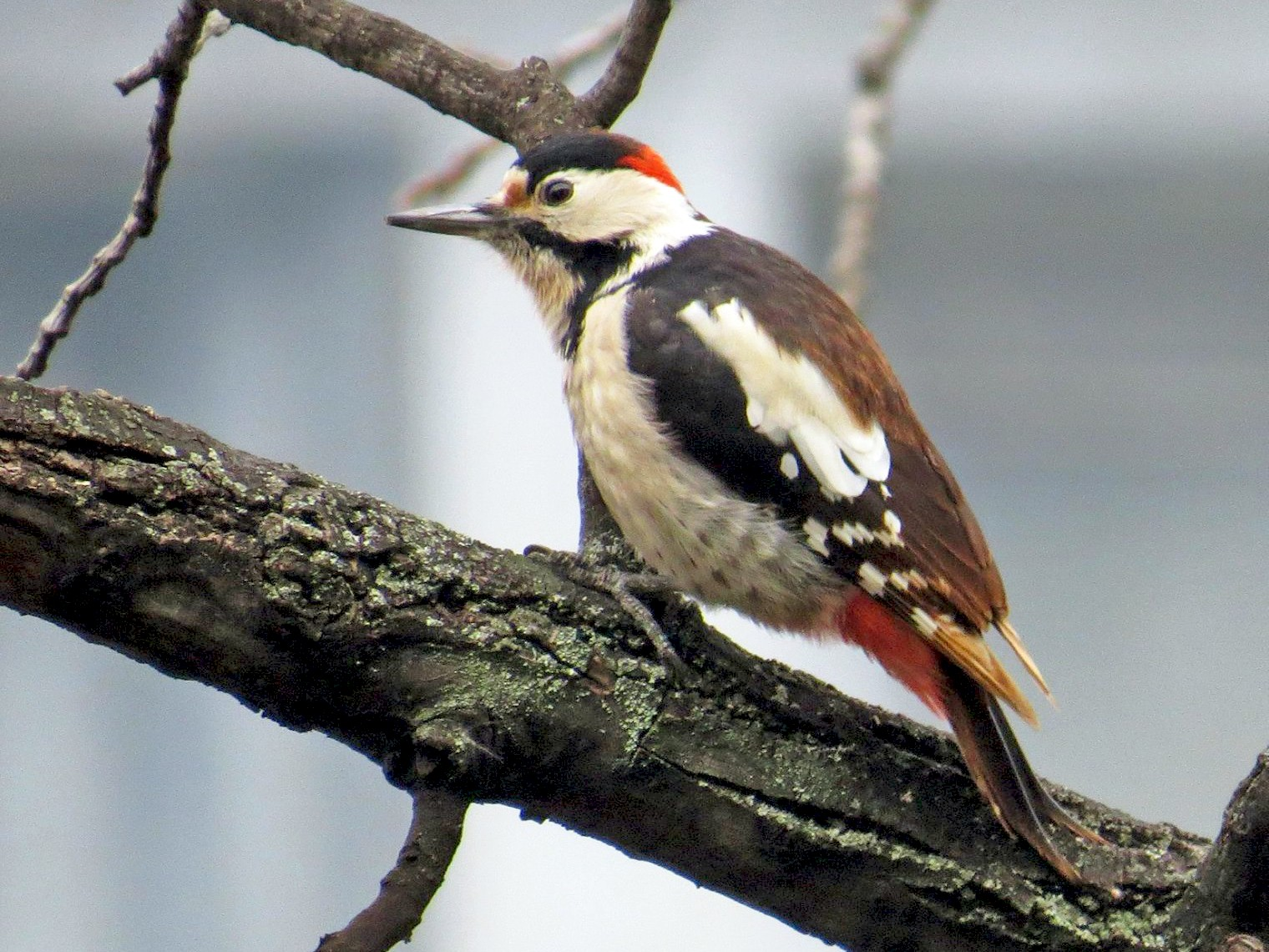 Syrian Woodpecker - Aleksa Vukićević