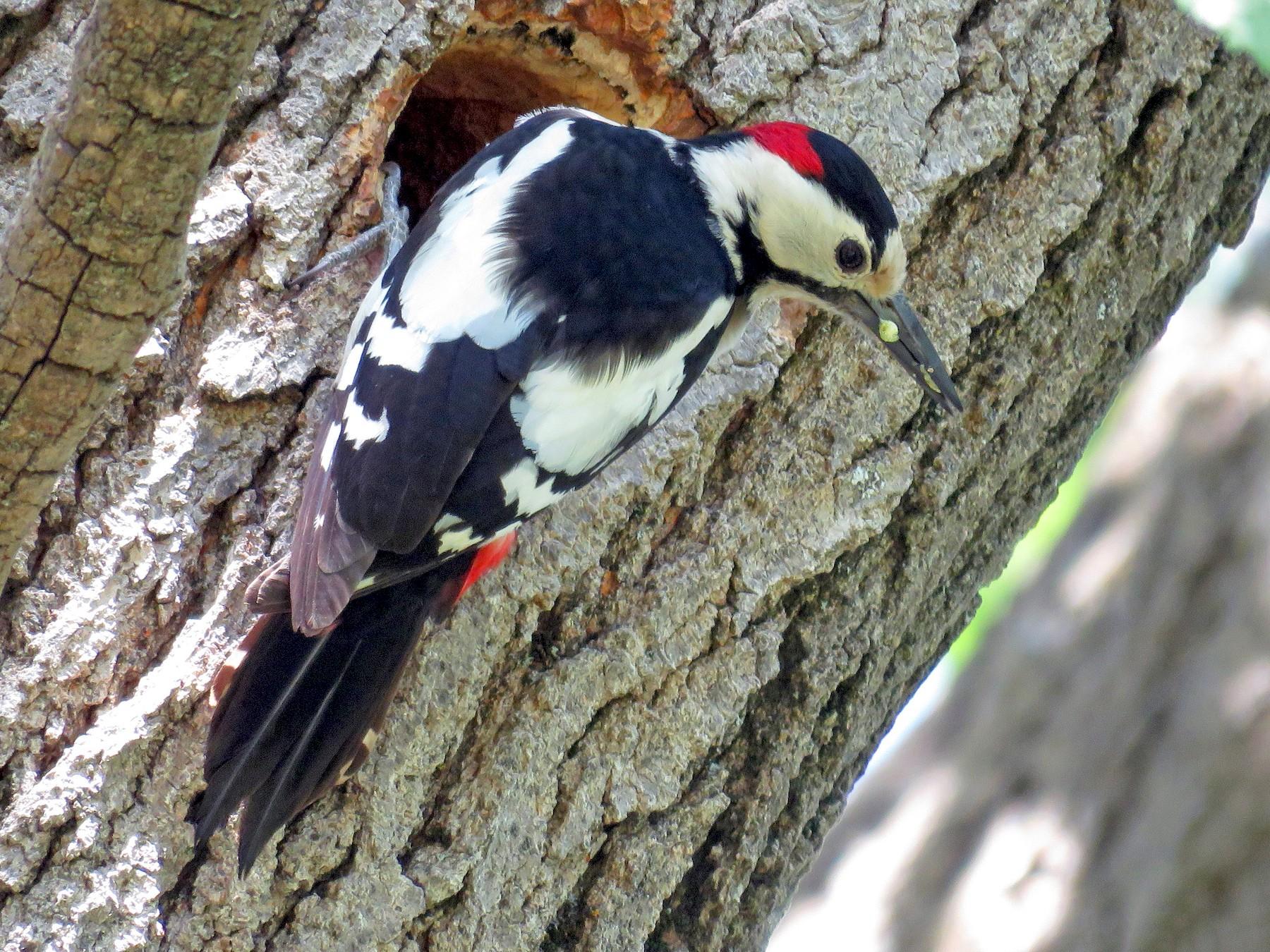 Syrian Woodpecker - Dorna Mojab