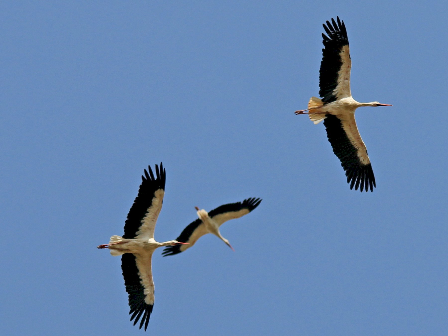 White Stork - Alexandre Hespanhol Leitão