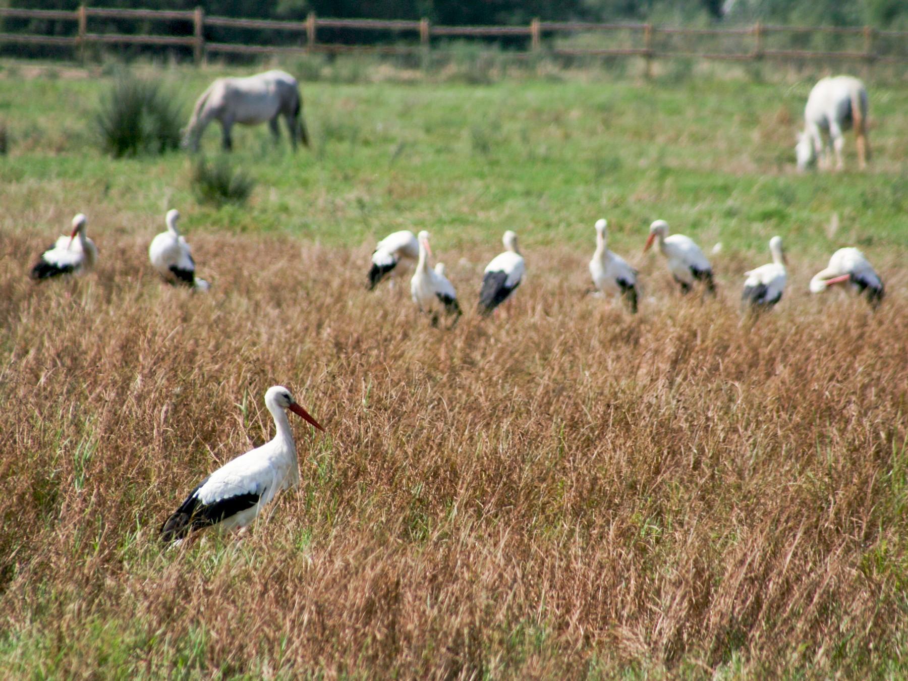 White Stork - Jean-Sébastien Guénette