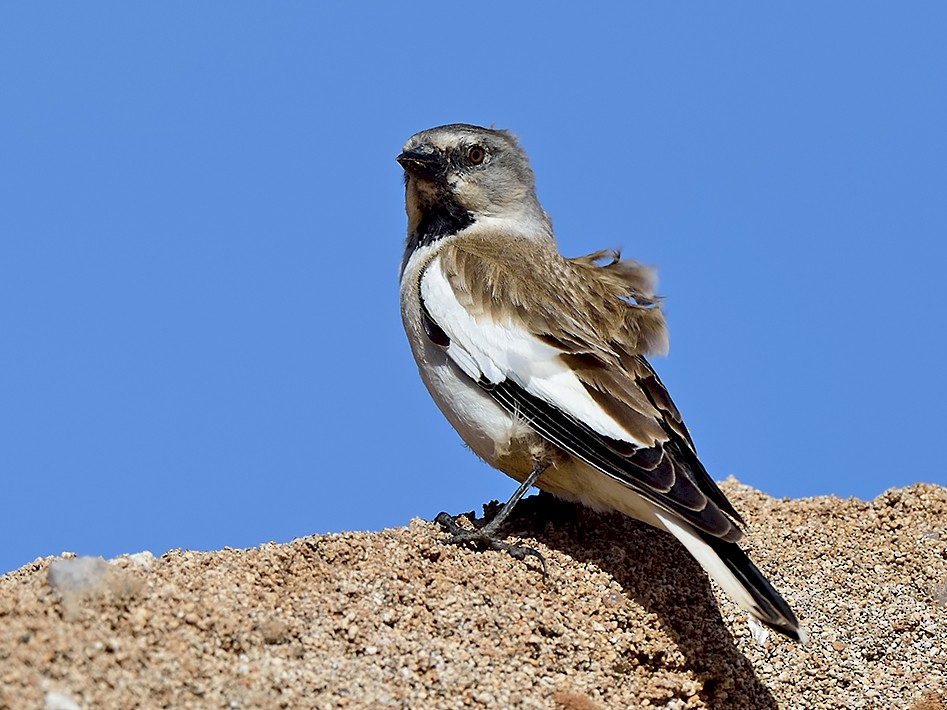White-winged Snowfinch - Ferit Başbuğ