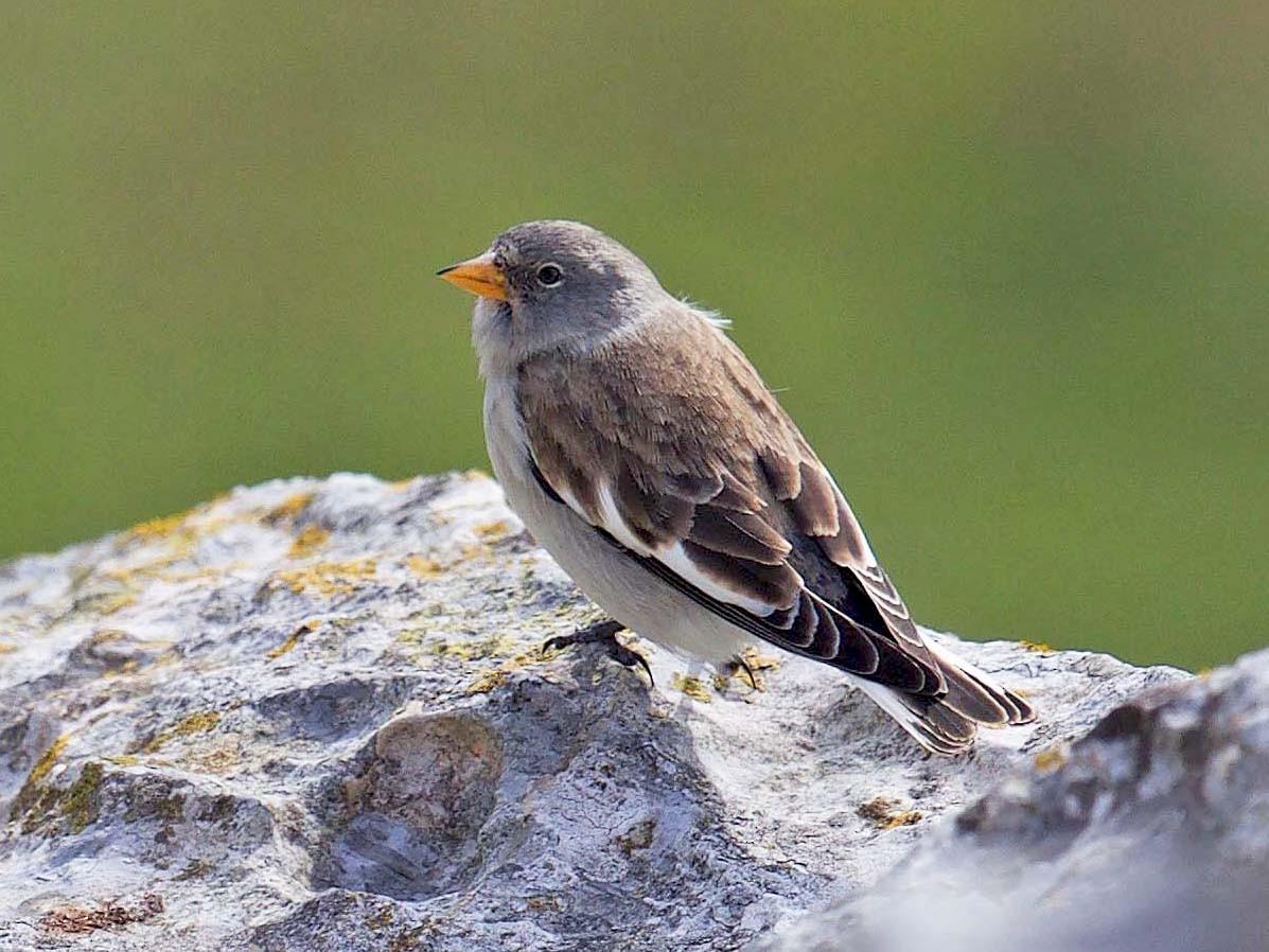 White-winged Snowfinch - Gorka Gorospe