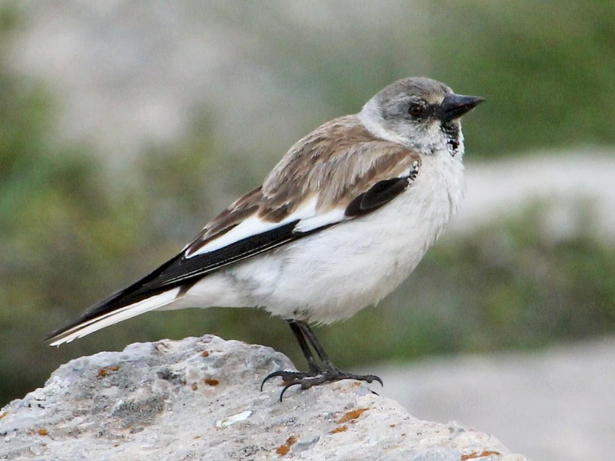 White-winged Snowfinch - Paul Chapman