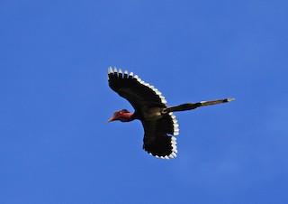 - Helmeted Hornbill