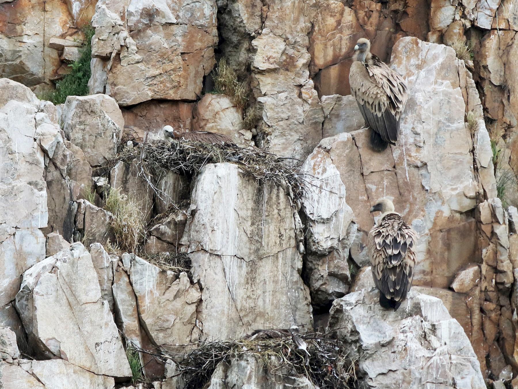 Eurasian Griffon - Daniel Jauvin