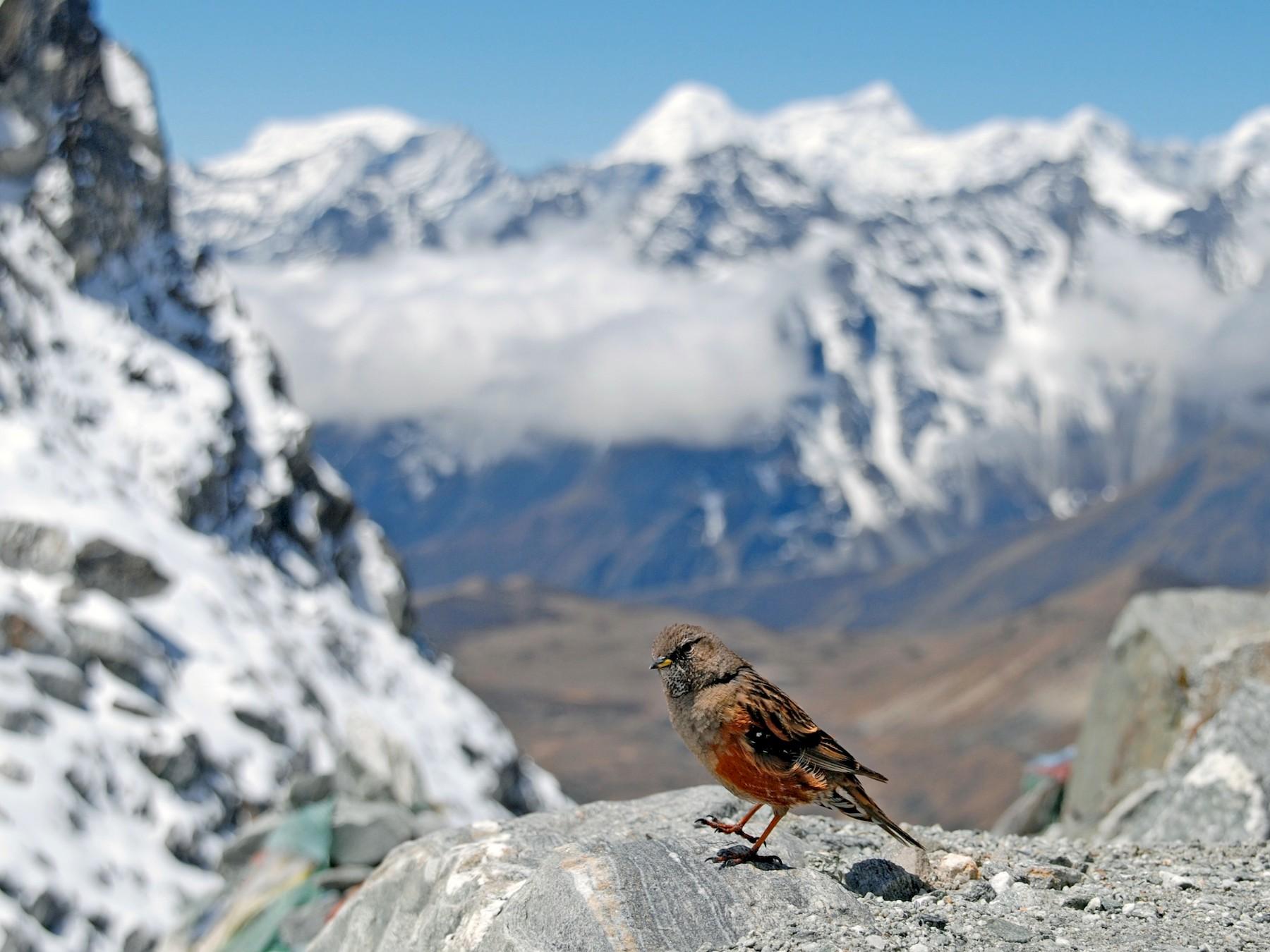 Alpine Accentor - Tim Holland