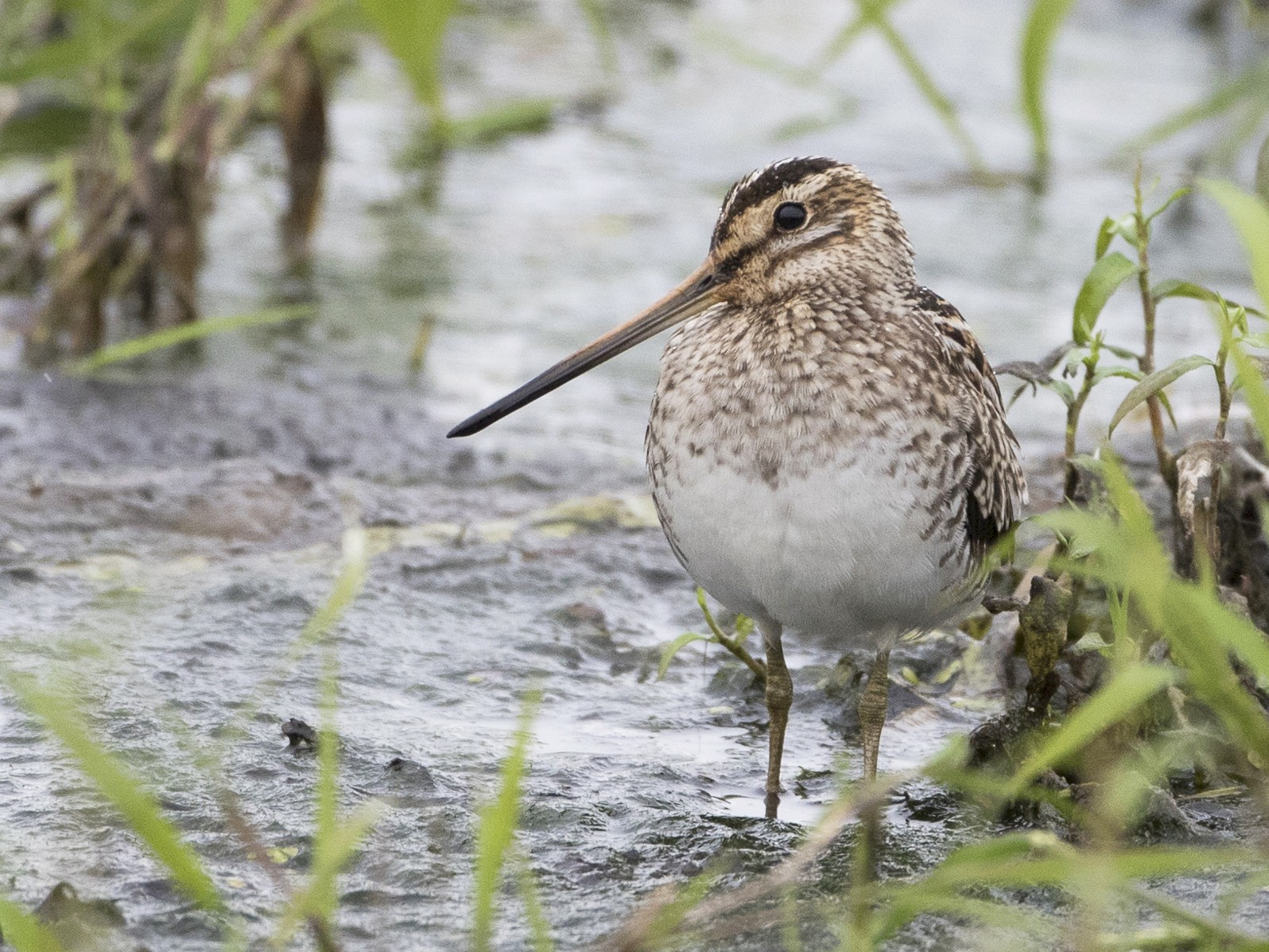 Common Snipe - Brian Sullivan