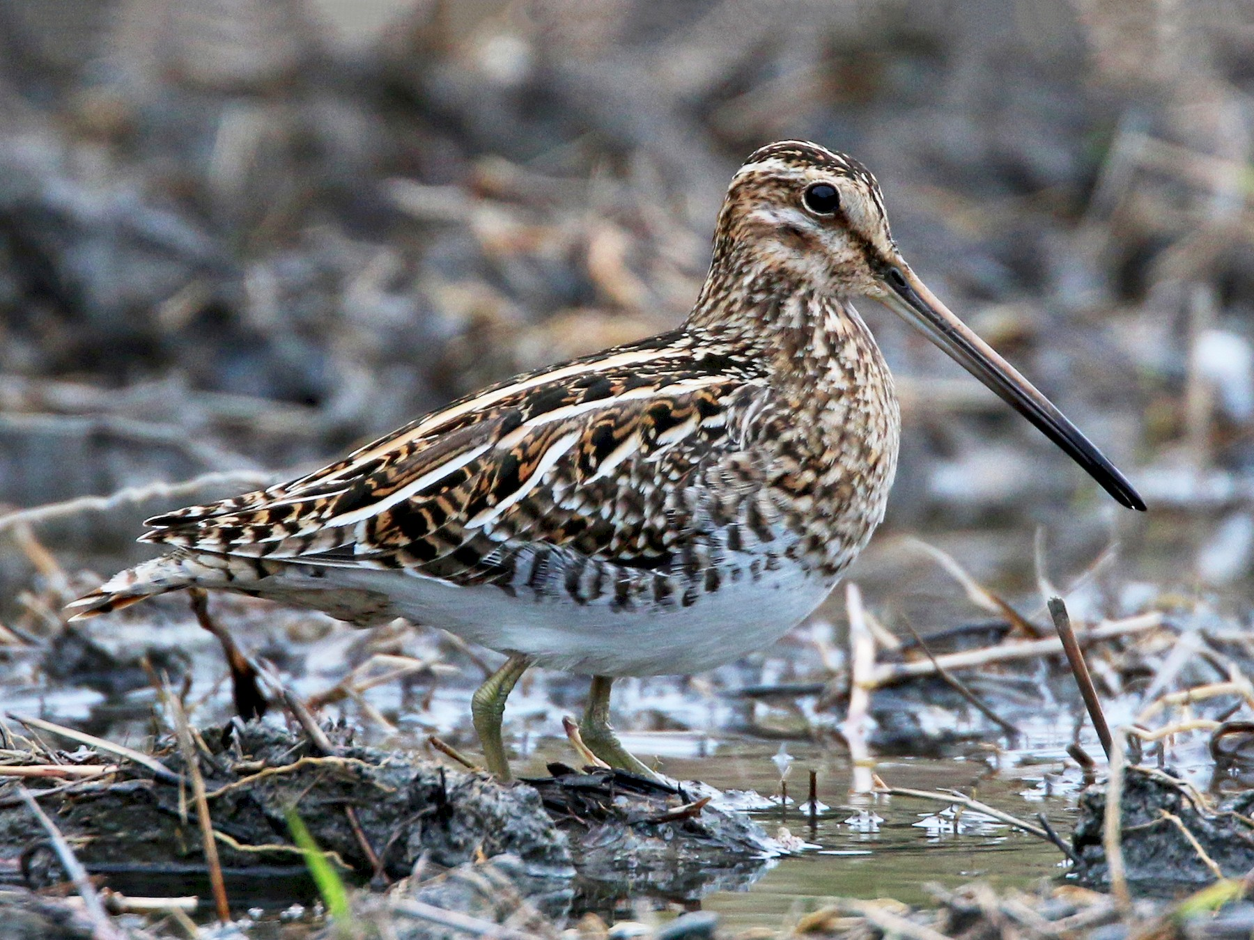 Common Snipe - Ian Davies