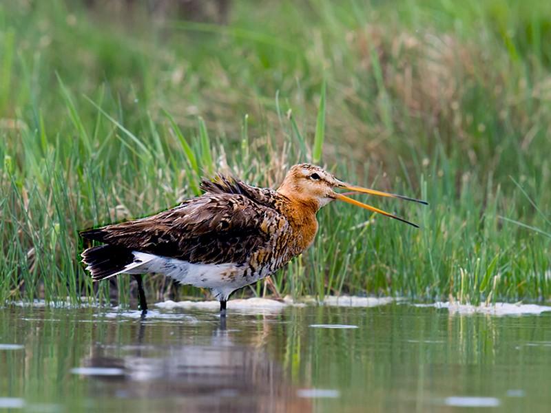 Black-tailed Godwit - Craig Brelsford