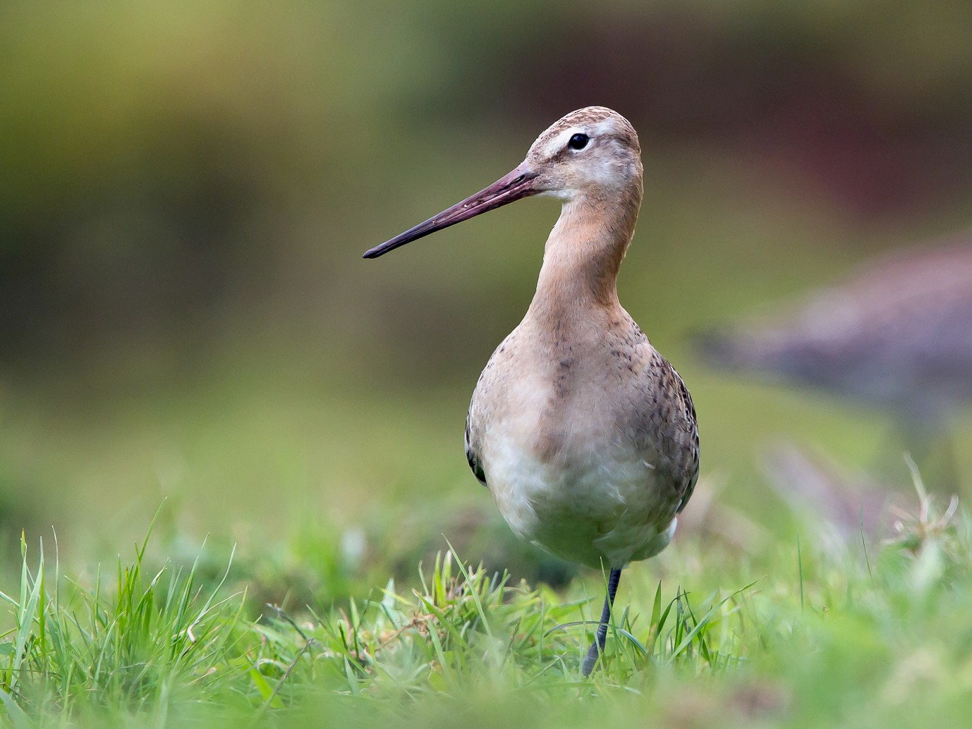 Black-tailed Godwit - Otto Samwald