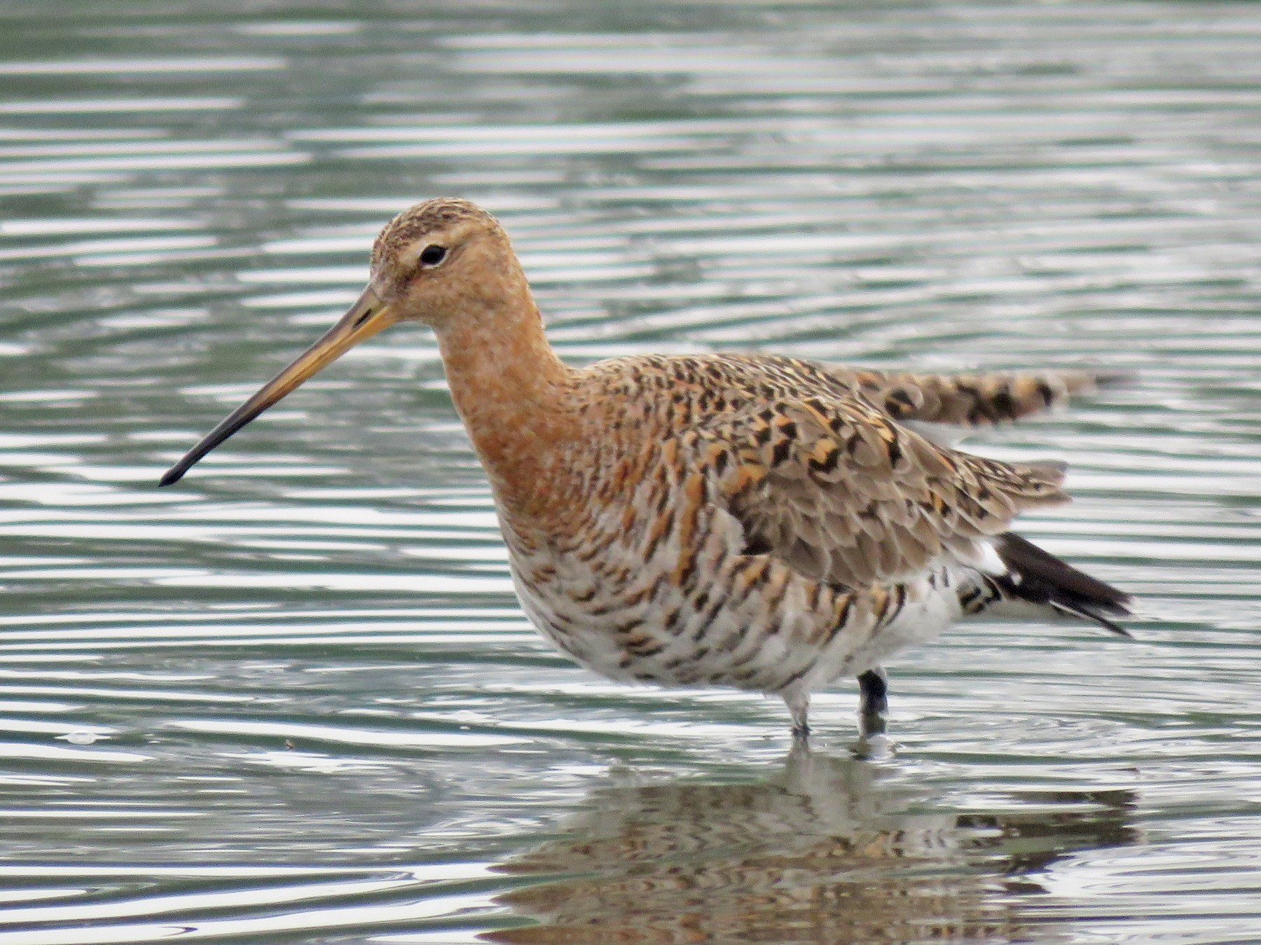 Black-tailed Godwit - Max Lee