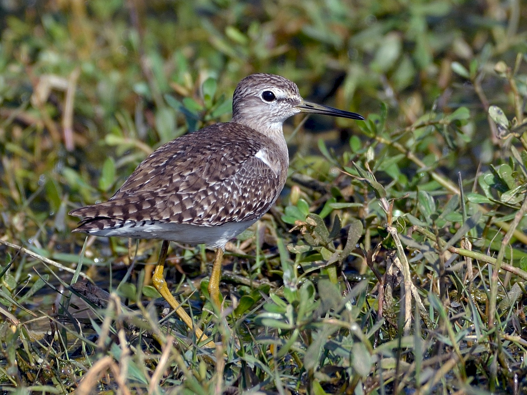 Wood Sandpiper - Anonymous eBirder