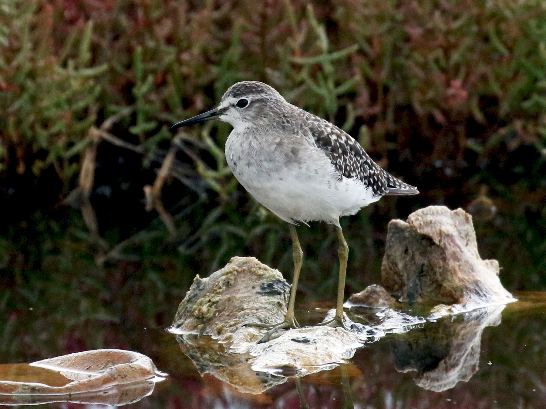Wood Sandpiper - James Rieman