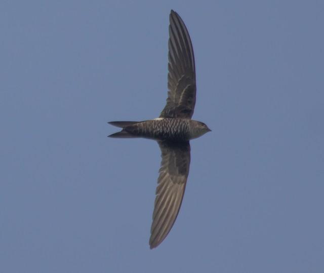 Blyth's Swift