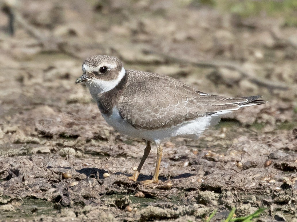 Common Ringed Plover - Suzanne Labbé