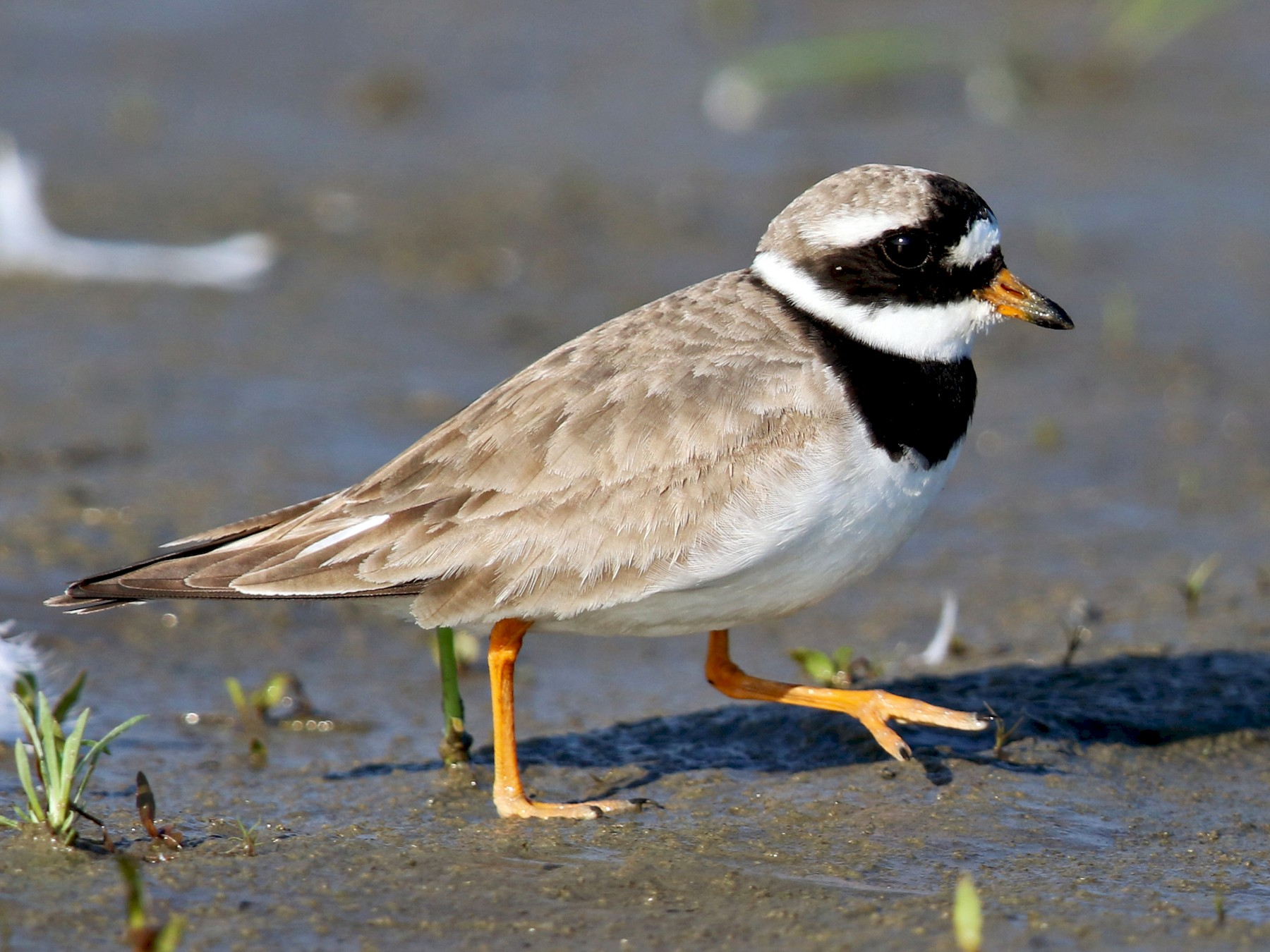 Common Ringed Plover - Daniel Jauvin