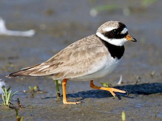 - Common Ringed Plover