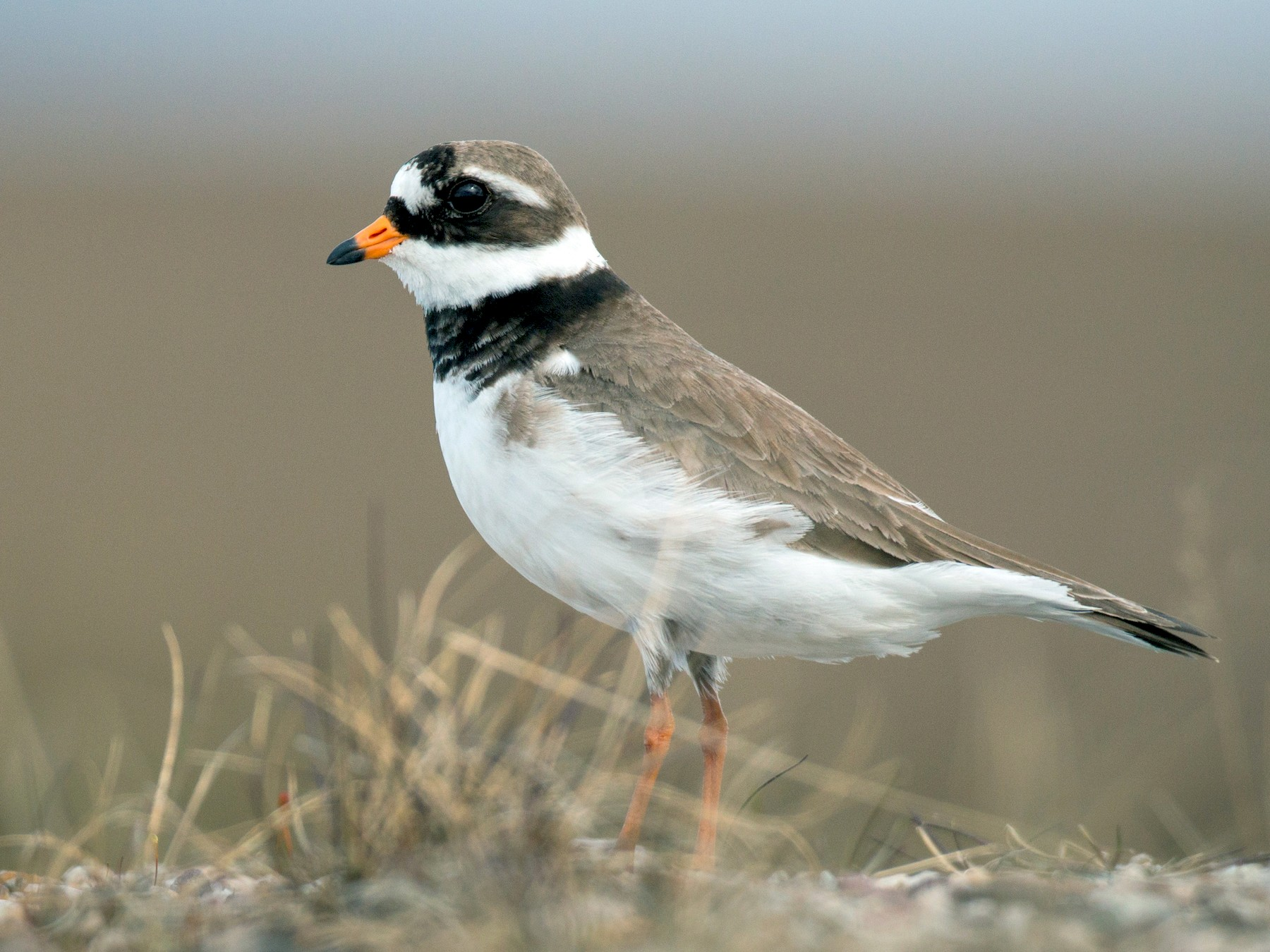 Common Ringed Plover - Ian Davies
