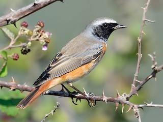 - Common Redstart