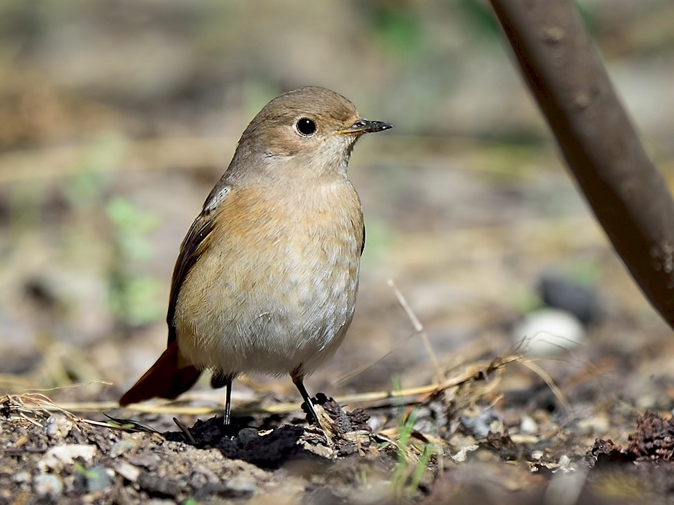 Common Redstart - Ferit Başbuğ
