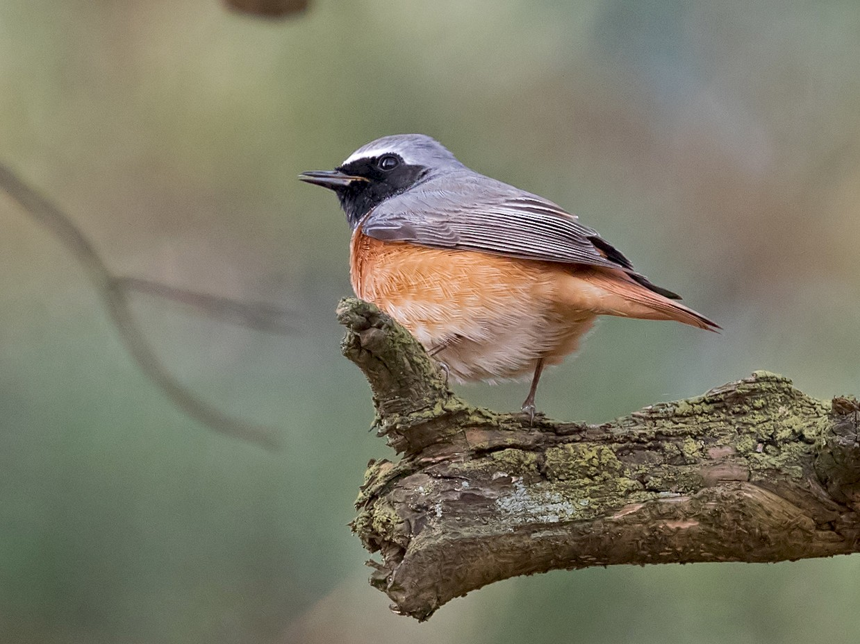 Common Redstart - Andrew Wilson